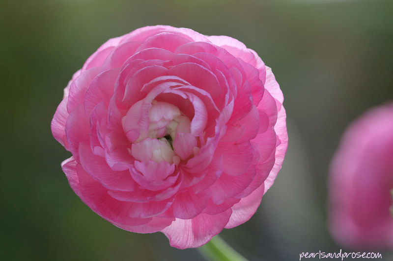 ranunculus_light_web
