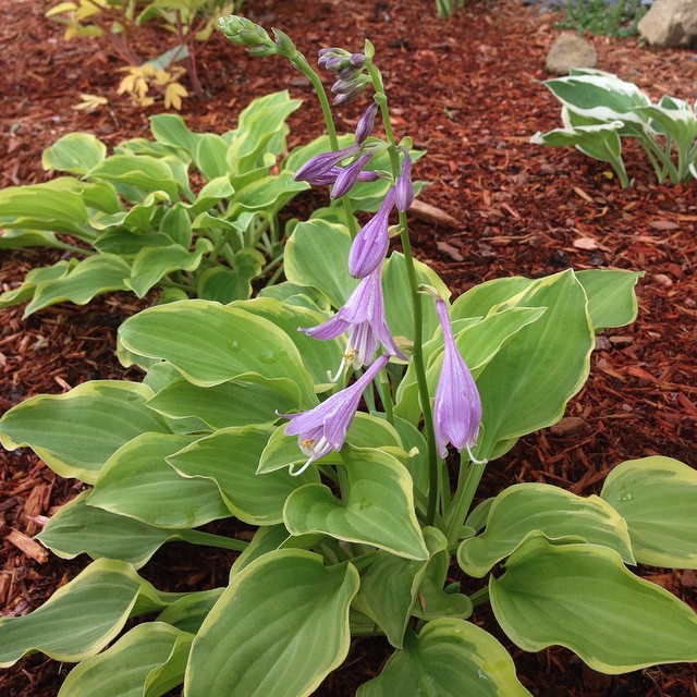 First #hosta to bloom.