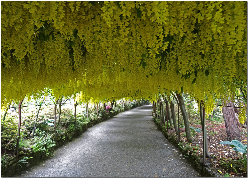Unusual Laburnum Arch Bodnant Gardens  Brian Mottershead  Flickr With Marvelous  Laburnum Arch Bodnant Gardens  By Brian The Euphonium With Extraordinary One Aldwych Covent Garden Also Covent Garden Underground Station In Addition Garden Slate Signs And Garden Shears Electric As Well As Garden Equipment Hire Melbourne Additionally How To Plant A Vegetable Garden From Flickrcom With   Marvelous Laburnum Arch Bodnant Gardens  Brian Mottershead  Flickr With Extraordinary  Laburnum Arch Bodnant Gardens  By Brian The Euphonium And Unusual One Aldwych Covent Garden Also Covent Garden Underground Station In Addition Garden Slate Signs From Flickrcom