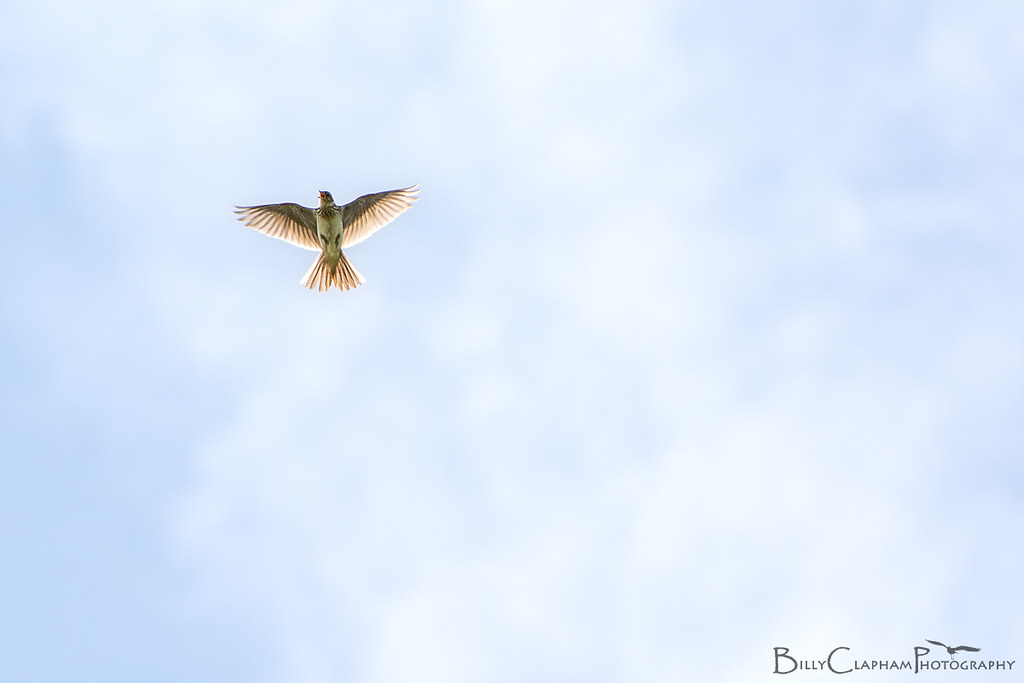 skylark, flying, bird, Nikon D7100, 70-300mm