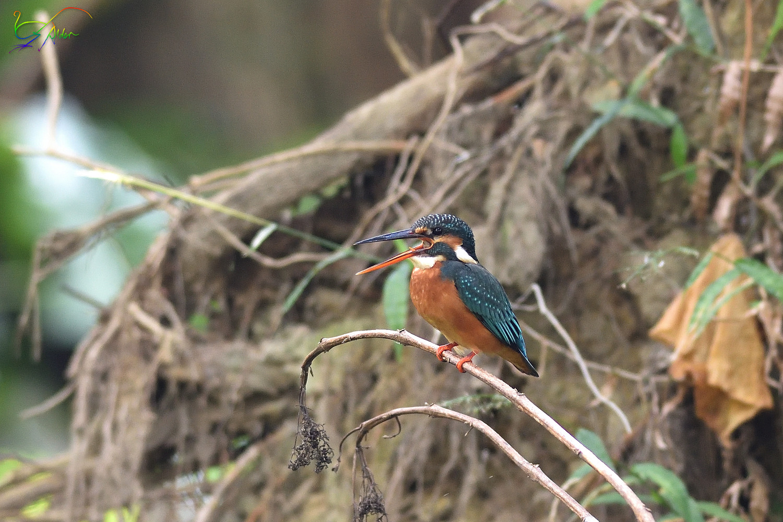 Common_Kingfisher_3740