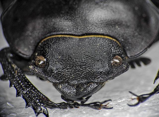 Common Beetle?