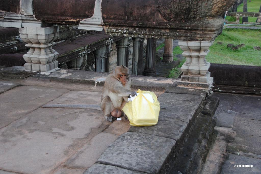 Varasteleva apina, Angkorin temppelit, Siem Reap, Kambodza