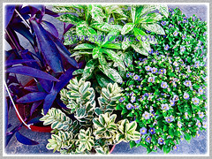 New plants, including Exacum affine (Persian Violet, Exacum Persian Violet) added to our garden in 1 June 2013