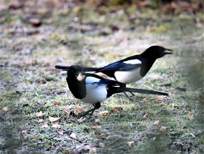 Magpies 16.02 (7)
