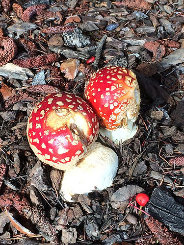 Amanita muscaria mushrooms - IMG_9994
