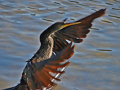 Flapping-Chicken-aka-Anhinga | by The Guncle