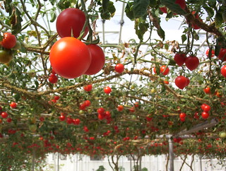 Tomatoes hanging overhead | by sylvar
