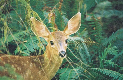 baby deer facing camera | by GButterfly