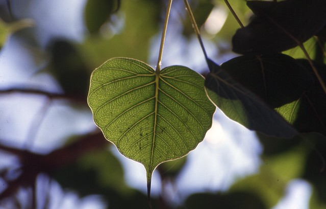 Bodhi tree leaf | librarianist | Flickr