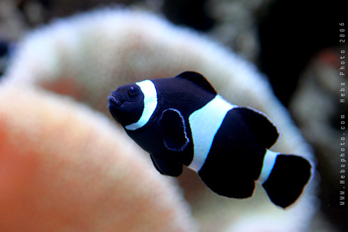Black Clownfish | © Heba AL-Jadaan Copyright for all ...