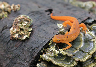 Red Eft | by michaelrighi