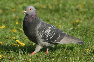 strutting pigeon | by grendelkhan