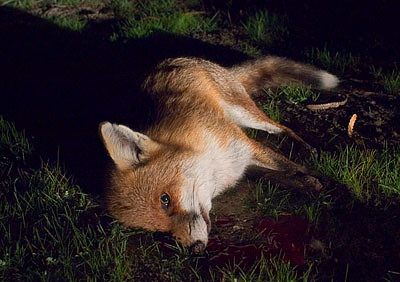 Dead Fox | Fox are vermin in Western Australia and have ...