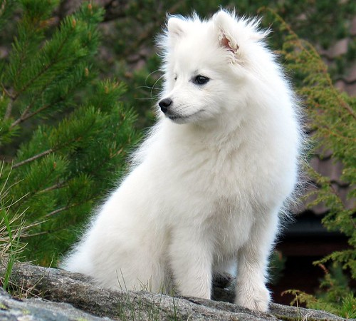 Neighbours Japanese spitz | I'm not sure if this dog ...