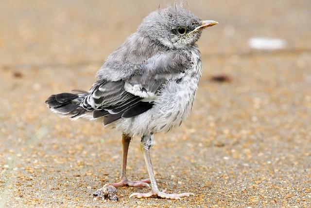 Mockingbird   Texdr's Blog  Newborn Mockingbird