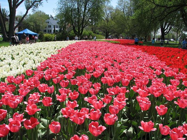 Tulipes Napolitaines