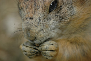 prairie dog close-up | by Feathers McGraw