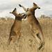 Boxing kangaroos 2