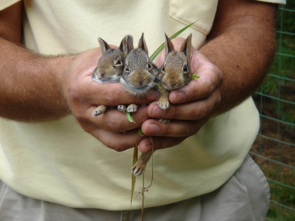 baby bunnies in my back yard flopsy mopsy u0026 peter cotton u2026 flickr