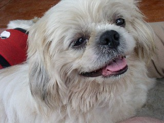how big does a shih tzu get a big smiles wild shih tzu flickr 3733