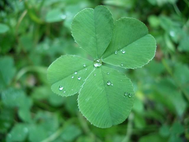four leaf clover 裏の公園で見つけました kawade flickr