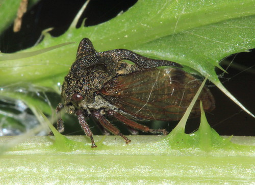 Centrotus cornutus 9331