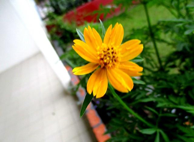 Ulam raja, orange