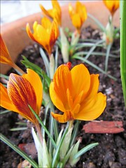 Monarch Crocuses