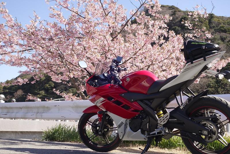 YZF-R15&頼朝桜