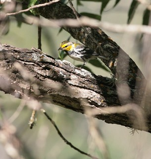 Golden-cheeked Warbler fledgling