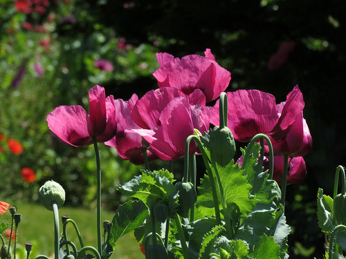 Poppies in Monet's Garden in Giverny, France