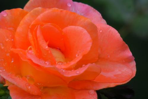 Rose Yokohama