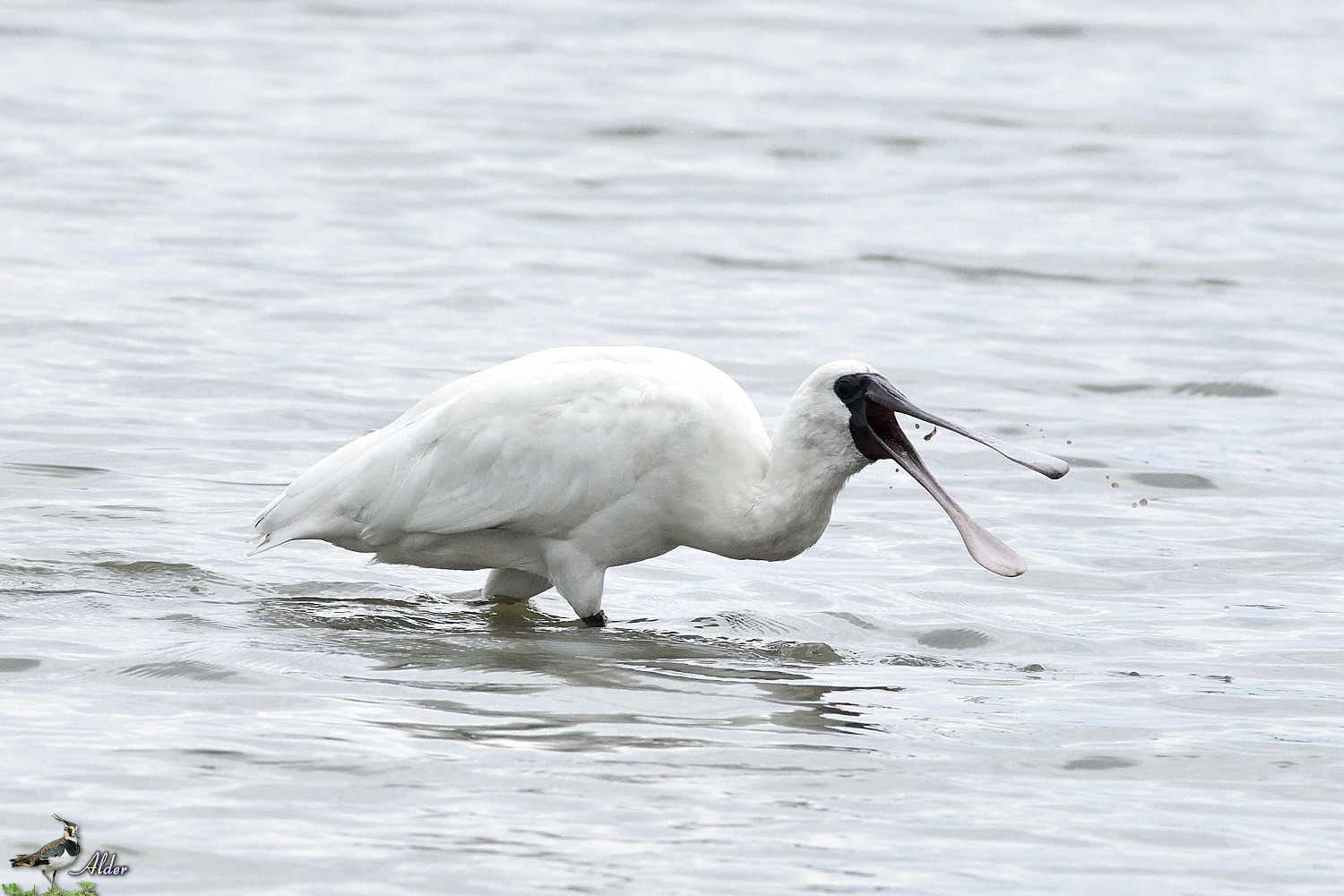 Black-faced_Spoonbill_5271