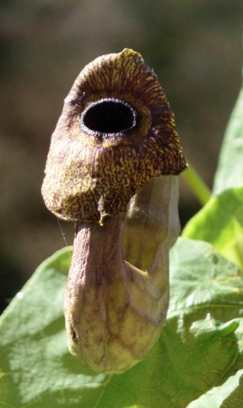 Aristolochia macrophylla 31294983104_9a0e6203e0_o