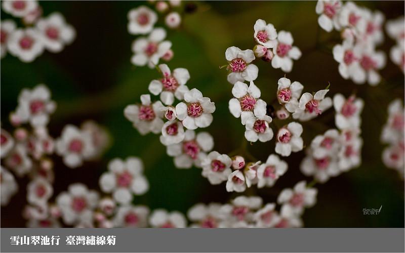 雪山翠池行__三六九山莊_臺灣繡線菊2