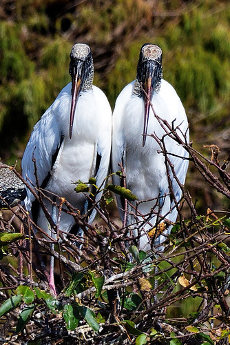 Wakodahatchee, FL: Two Wood Storks