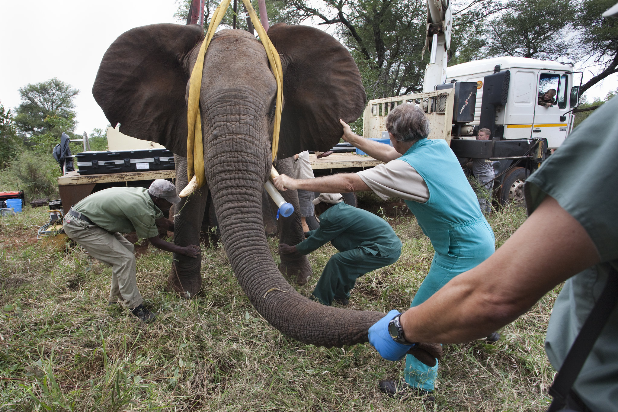 Photo of Elephant being prepared for vasectomy