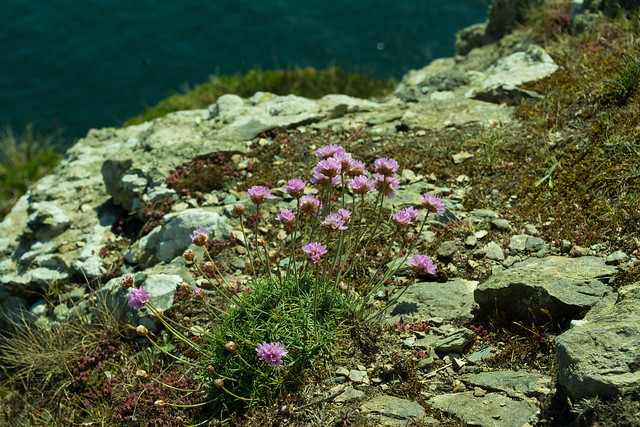 20150526-020_Howth Peninsula coast cliff path - Thrift_Sea Pinks