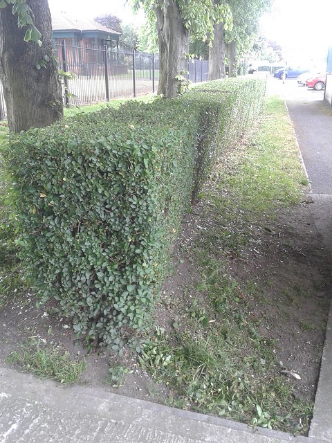 The park hedge after.