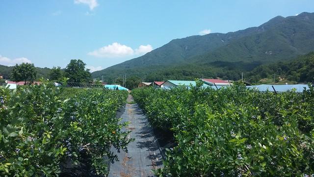 시골집 풍경-블루베리농장