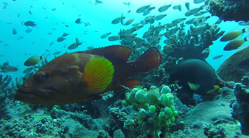Inquisitive Red Snapper (GoPro screenshot) | by brownpau