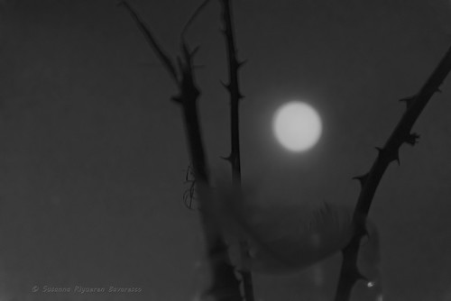 Moon, Thorns & Feather (b/w)