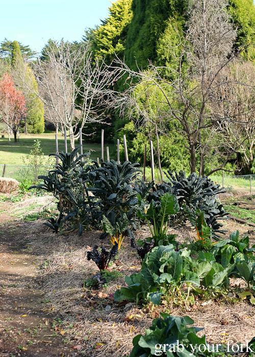 Kale in the kitchen garden behind Geoff Jansz Farm Table Restaurant, Mittagong