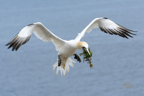 Northern Gannet with nesting material