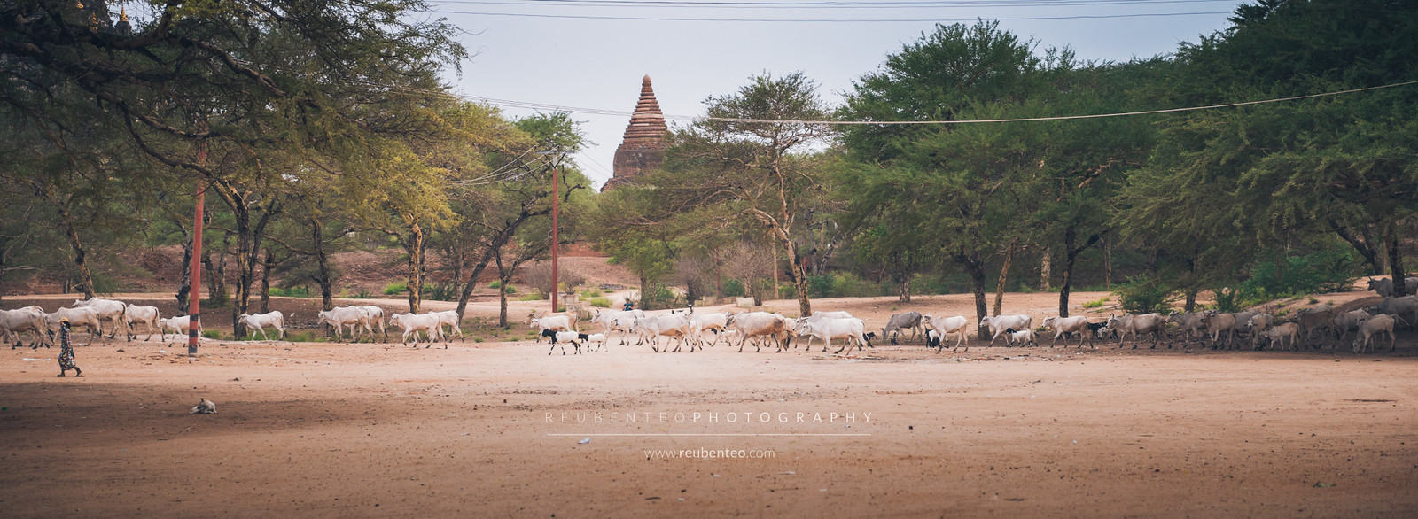 Cattle in Bagan