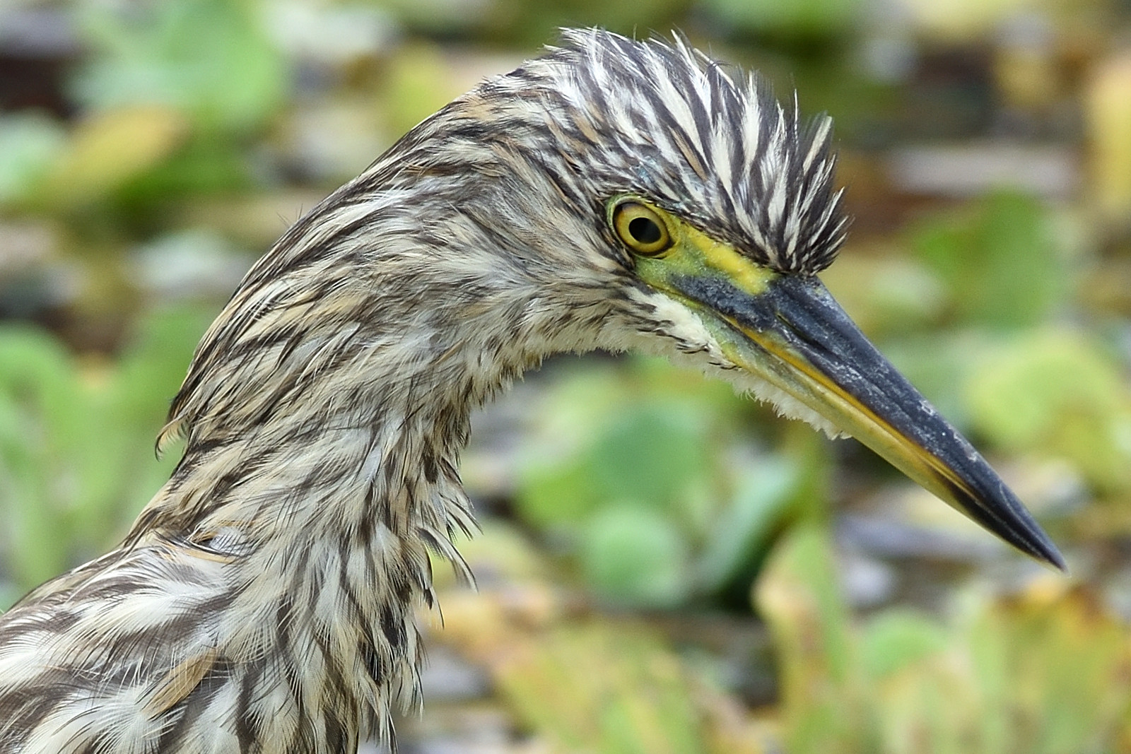 Chinese_Pond_Heron_3435