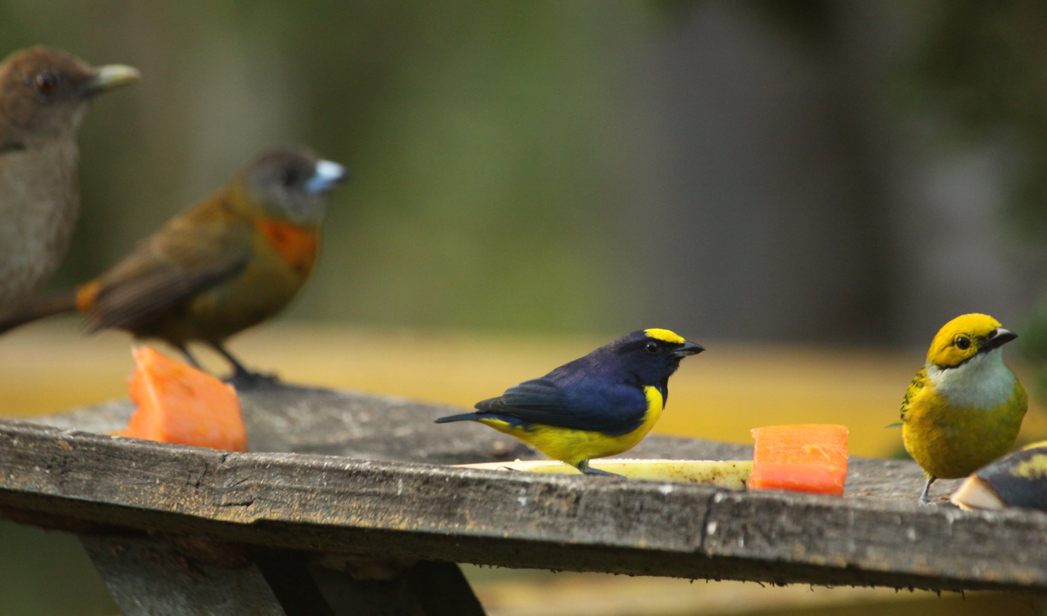 from left to right: Clay colored thrush, fem Cherrie's tanager, male spot crowned euphonia and silver throated tanager.
