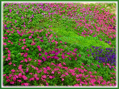 Assorted-coloured Petunias, scrambling down a hillside garden at Cameron Highlands, 29 Feb 2016