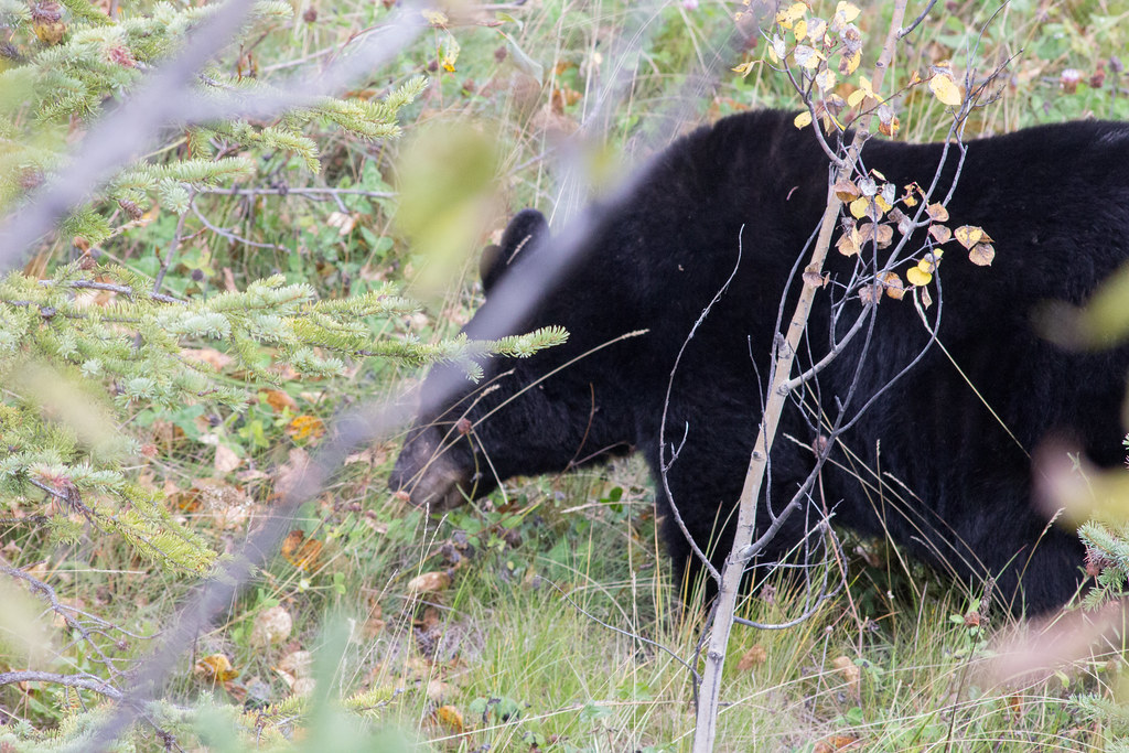 A bear at the side of the road in Jasper